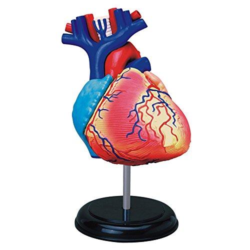 Tedco Human Anatomy - Heart Anatomy Model